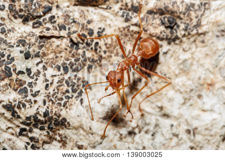 Red ant on tree background with in nature