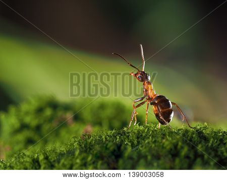 Pretty redhead wood ant standing on a moss. macro