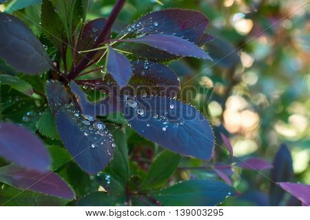Barberis bush leaves after rain with water droplets