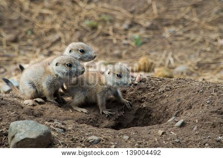 3 baby Prairie Dogs sitting by their burrow.