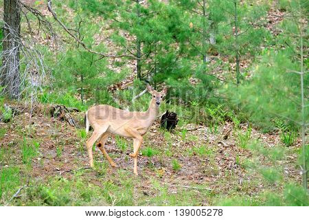 Deer at forest, Michigan, USA