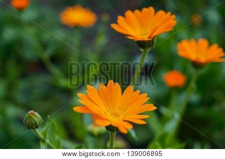 Calendula Flowers on the background of nature. Medicinal plant