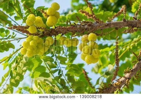 Star Gosseberry Phyllanthus acidus tree fruit, vegetation