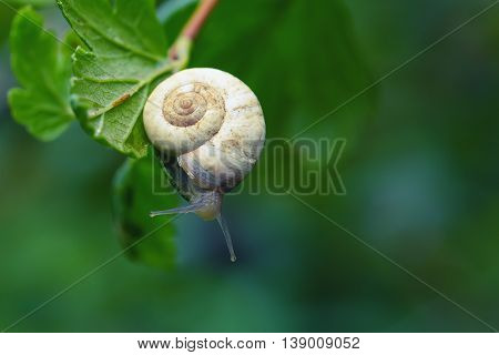 Curious snail in the garden on green leaf. Green background
