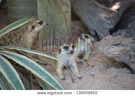 Family cute Slender-Tailed Meerkats in the zoo