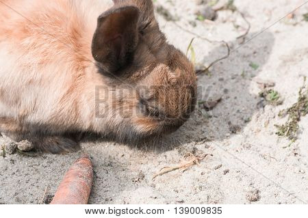 Brown Rabbit - Bunny sitting on sandy soil.