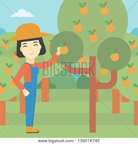 An asian female farmer collecting oranges. Young farmer working in orange garden. Vector flat design illustration. Square layout.