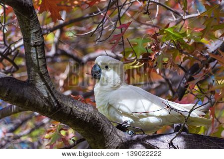 Sulphur crested Cockatoo on a tree with autumn leaves. White and yellow bird on autumn background