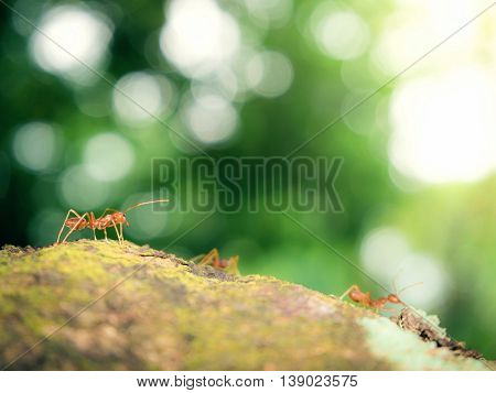 Worker ants (Oecophylla smaragdina F.) working on tree with blurry leaves and light bokeh background Selective Focus