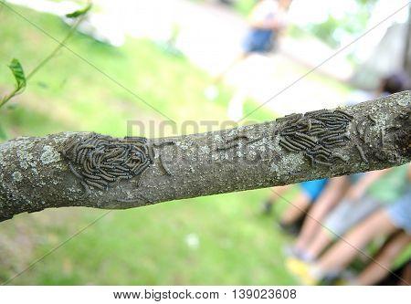 Malacosoma neustria. caterpillar lackey moth cluster on tree