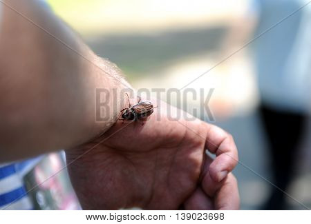 Beetle Chafer melolontha on a man's hand