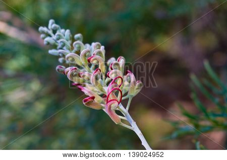 Grevillea Bud. Exotic Flower Going To Bloom