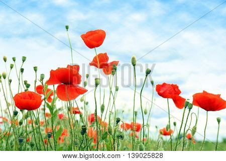 Beautiful wild red poppies on summer day