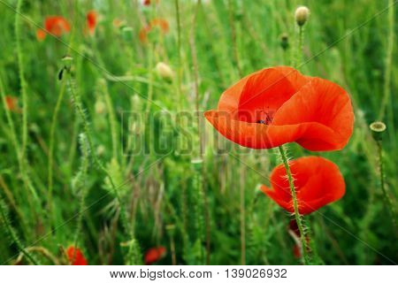 Beautiful wild red poppy on blurred nature background