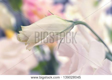 Beautiful unopened eustoma bud, close up