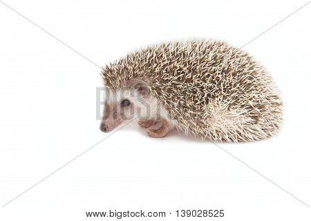 Hedgehog isolate , isolate on white background