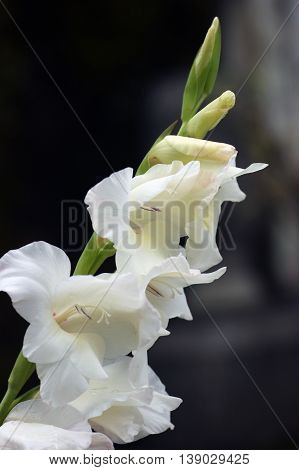 Blooming gladiolus flowers painted in white color