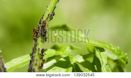 Red ants and black aphid on a green stem