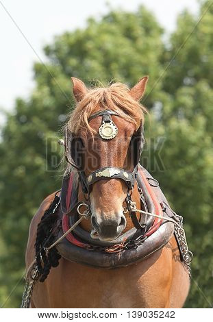 photo of a heavy horse in working harness