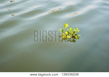 Water Hyacinth floating on river in Thailand.