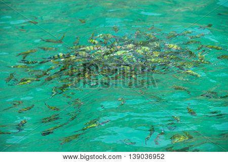 School of Striped Eel Catfish in water in Thailand