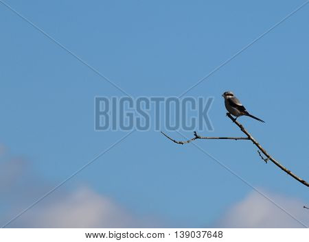 A Great Grey Shrike (Lanius excubitor) perched on a twiggy branch, against a blue sky with white clouds. This picture was taken in The Forest of Dean, Gloucestershire, England in early March.