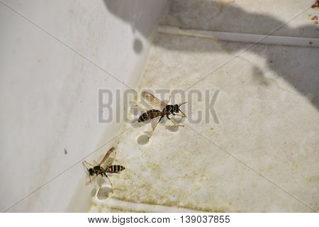 Wasps Polistes Drink Water