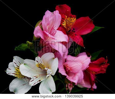 alstroemeria flowers isolated on a black background