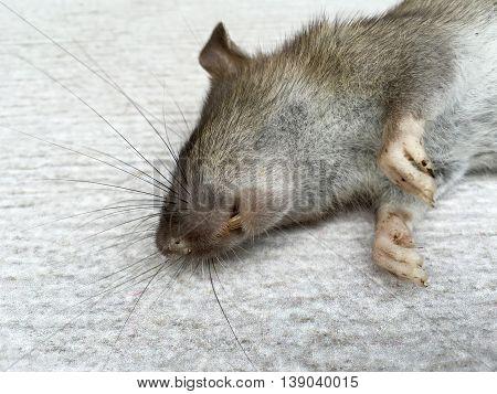 Dead rat on a white tiled floor