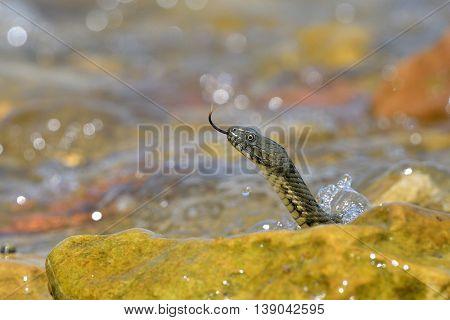 Portrait of a dice snake Natrix tessellata