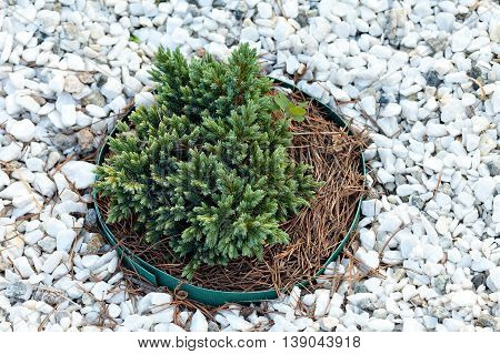 ornamental coniferous tree in the landscape design. Against the background of white marble chips in the garden of stones.