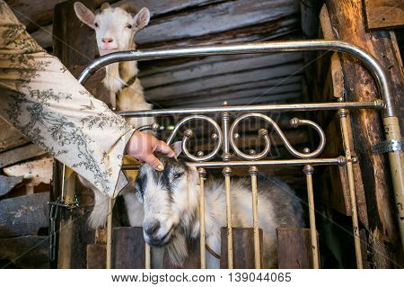 Grey and white goat in a cowshed