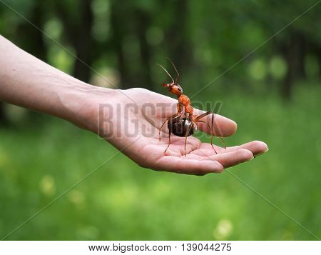 Huge beautiful ant on a female hand on a background of green forest. The concept of nature protection forest environment ecology