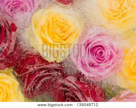 frozen abstraction bright yellow roses pink and red hues frozen in clear water with air bubbles