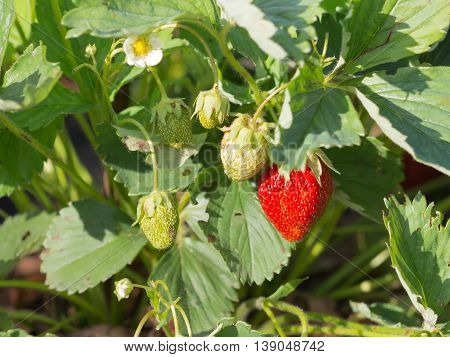 remontant beautiful red ripe delicious bright juicy ripe berry strawberry in the summer garden in the garden