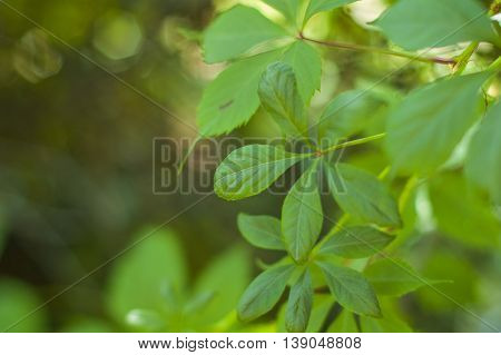 Large green leaves of ivy in the summer.