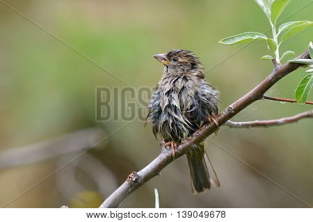 Wet sparrow sitting on branch