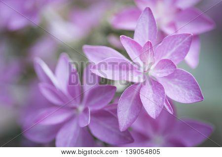 Hydrangea flower type