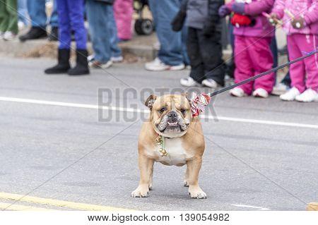 Taunton Massachusetts USA - December 5 2010: Bulldog enjoying a break at Taunton Christmas Parade
