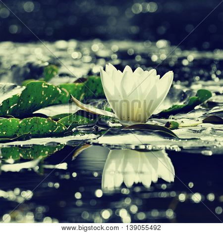 Beautiful Blooming Flower - White Water Lily On A Pond. (nymphaea Alba) Natural Colored Blurred Back