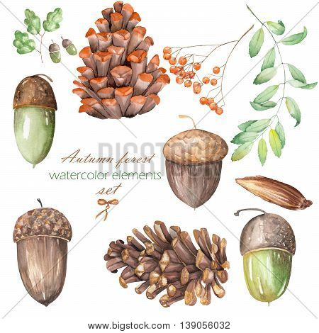 A set, collection with the floral isolated watercolor forest elements (oak acorns, cones, rowan) on a white background