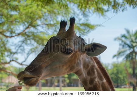 Closeup of a beautiful giraffe elegant in the zoo