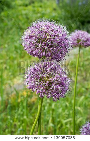 Purple Color Ornamental Onion (allium Bulgaricum) In A Botanical Garden In Goettingen, Germany