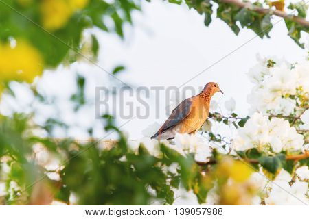 Laughing dove (Streptopelia senegalensis) in the resort of Hurgada Egypt. Nature background with bird and flowers. Place for text.