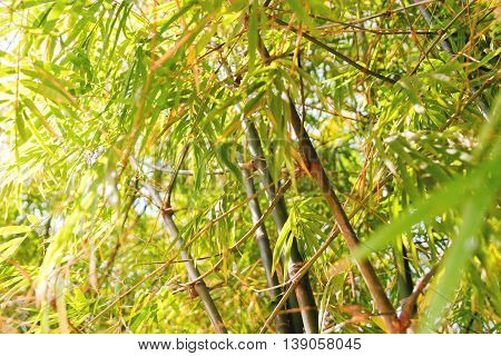 Nature background with bamboo trees branches. Cambodia.