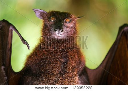 Large Malayan flying fox close-up portrait