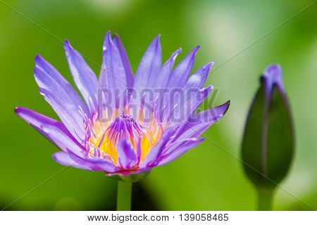 Blue Egyptian lotus (Nymphaea caerulea). Natural background with water lily flower. Thailand.