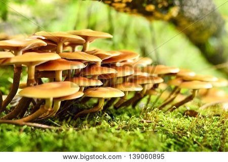 Fresh mushrooms on a mossy tree trunk. Selective focus of wild mushrooms with copy space and defocused background. Autumn scene with golden sunlight.