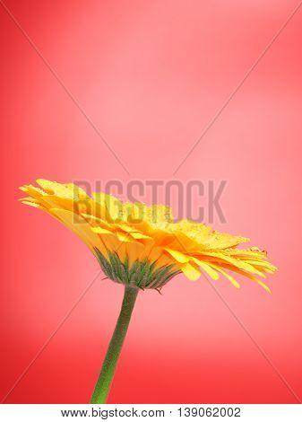 beautiful yellow gerbera flower on red background