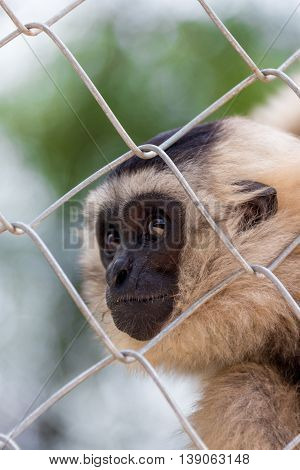 gibbon, Gibbon in zoo cage, Beauty and loveliness of Gibbons, Colorful Gibbons, Looking Gibbons